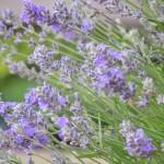 Lavendelblüten im Lavendelfeld