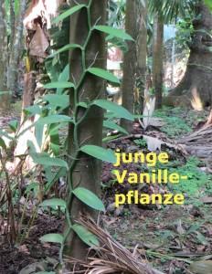 junge Vanille am Baum