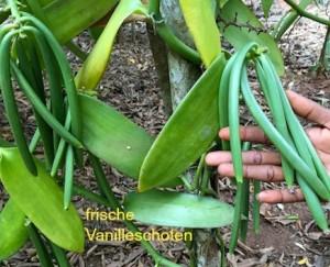 frische Vanilleschoten an Pflanze