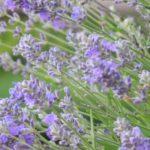 Lavendel Ungeziefer Zecken