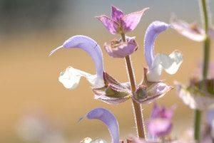 Muskatellersalbeiblüte